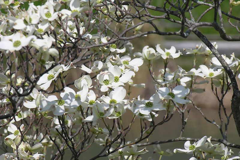 The dogwoods have just come into bloom - April 6th & 7th