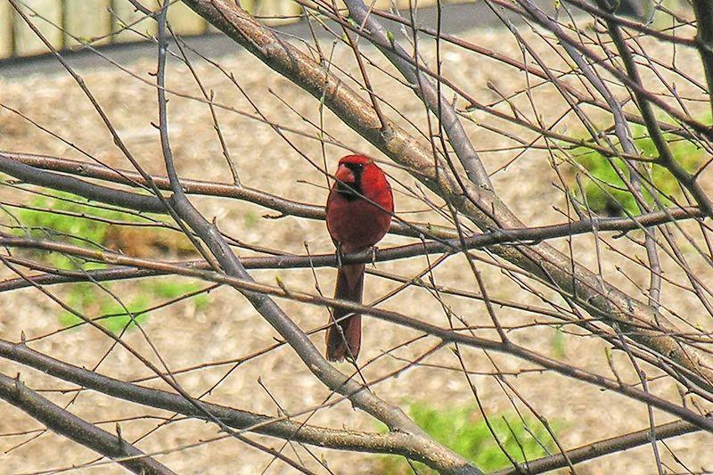 A cardinal posing