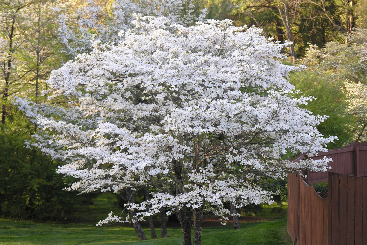 This dogwood is especially bright