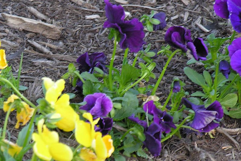 Some pansies