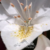 103  G Water and White Rhodie