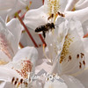 80  G Honeybee on White Rhodie
