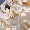 90  G Honeybee on White Rhodie