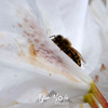 34  G Honeybee on White Rhodie