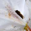 34  G Honeybee on White Rhodie
