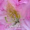 25  G Pink Rhodie