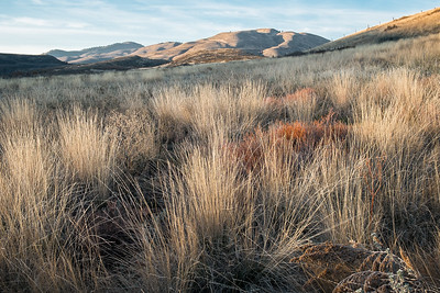 Bunch Grass  and Lewis Butte