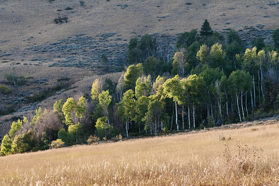 Gunn Ranch Aspes
