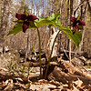 Purple trillium at Pawtuckaway State Park.  Luckily these were about a foot high and I could get the camera well below them. Check out what the light does to the leaves.  Isn't that great?