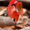 I've been wanting to get another shot of a tiny maple turning red and I found some in a section of clear cut in the Litchfield State Forest.  Got the very last of the afternoon light.  Shot w/the OM 90mm f2 legacy macro at about f8.
