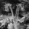 Another microscape experiment, this time with christmas fern.  I liked how seahorse-like the new fronds are.  Monochrome brings the texture out much more than the color shot did.