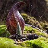 skunk cabbage in the afternoon light.