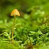 Another miniscule mushroom in moss.  So enchanting.  Shot with the OM 90mm f2 legacy macro in Bear Brook State Park.