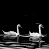 Swan Majesty
