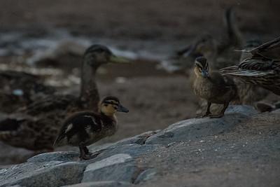 Duckling Duo - Upper Arley