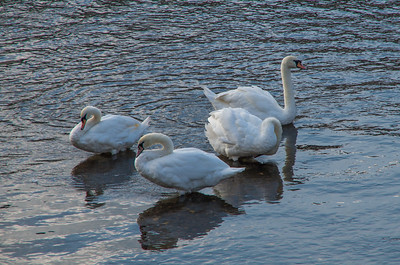 Swans on the Severn