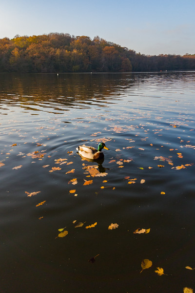 Ducks Afloating