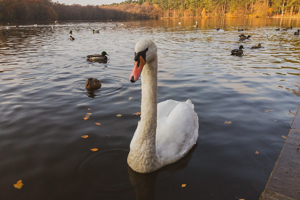 Swan life on Blackroot Lake