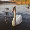 Swan life on Blackroot Lake
