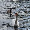 Swan & geese