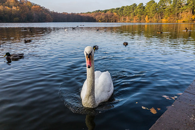 Swan Lake: Blackroot Pool, Sutton Park