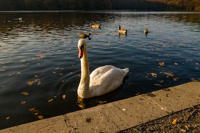 Autumnal Swan