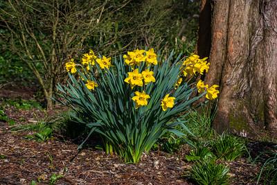 Daffodils in Castle Gardens