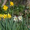 Daffodils at Northwood Halt