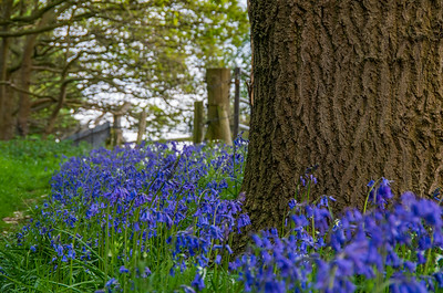 Stafford Bluebell Woods, Baswich