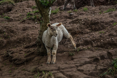 Sheep at Stafford Bluebell Woods, Baswich