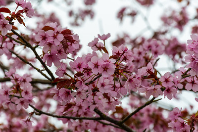 Blossom - Victoria Park, Stafford