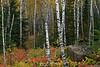 Birch forest ablaze, Silver Bay MN