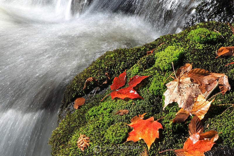 Maple leaves in stream