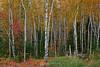 Birch forest ablaze