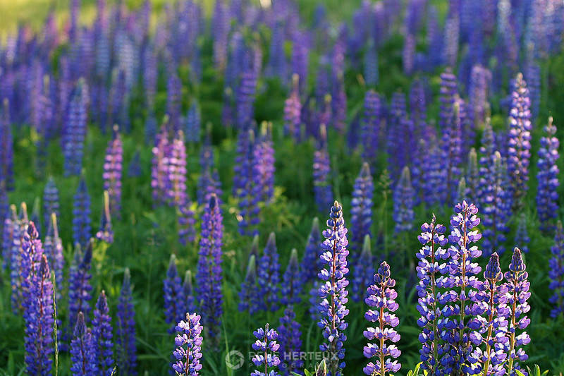 Field of Lupines in the setting sun