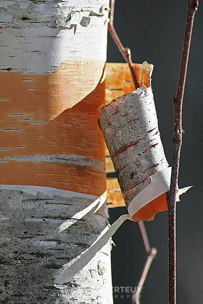 Birch bark peel