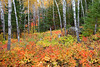 Birches and fall colors