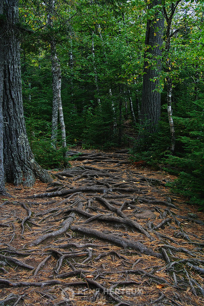 Path covered with roots and pine needles