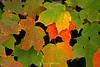 Maple leaves ablaze