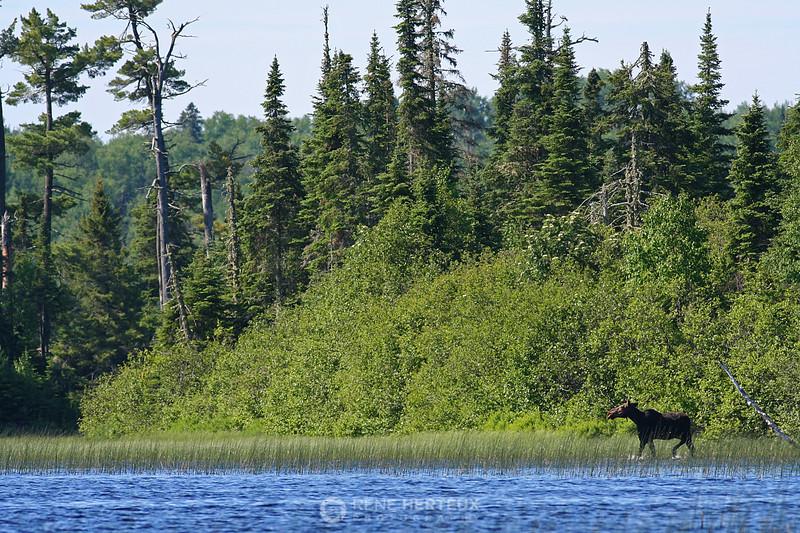 Cow moose along shoreline