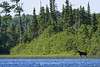 Cow moose along shoreline