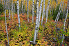 Birch and fall colors