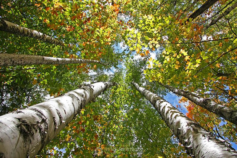 Towering birch trees