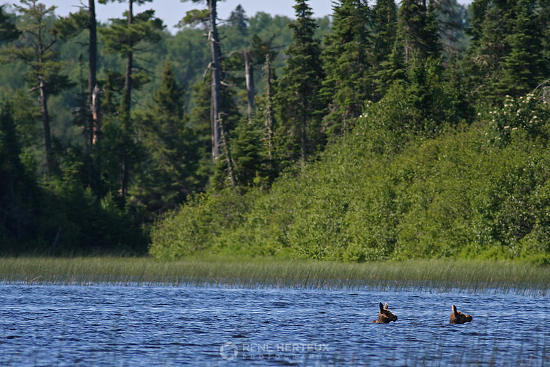 Baby moose swimming in lake