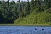 Baby moose swimming in lake