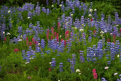 Wildflowers Mount Rainer National Park
