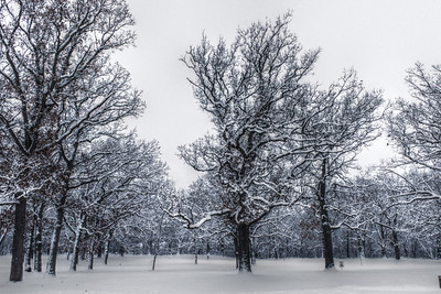 Oak Trees in Snow