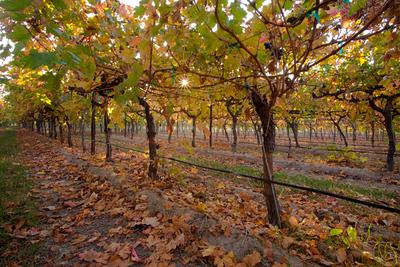 Grape Vines at Fresno State - Autumn