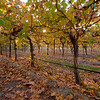 Grape Vines at Fresno State - Autumn