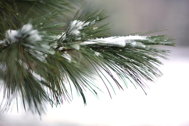 december-pine0552
